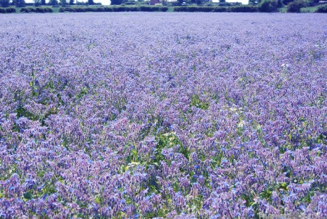 Field of Borage